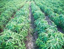 Pianta di estate di agricoltura dell'azienda agricola della manioca Immagini Stock Libere da Diritti