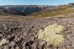 Pianta di eximia di Raoulia che cresce sul pendio in alpi del sud Immagini Stock