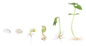 Pianta di fagiolo che cresce isolata Fotografie Stock Libere da Diritti