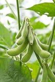 Pianta di fagiolo della soia Immagini Stock