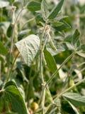 Pianta di fagiolo della soia Fotografie Stock