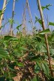 Pianta di fagiolo di lunghezza dell'iarda nell'azienda agricola fotografia stock