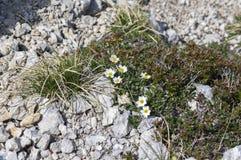 Pianta di fioritura alpina artica di octopetala del Dryas con otto crescite dei petali e bloomin sulle pietre bianche Fotografia Stock Libera da Diritti
