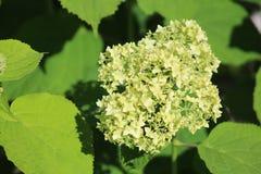 Pianta di fioritura bianca di estate Immagini Stock