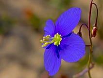 Pianta di fioritura blu luminosa della senape Fotografia Stock Libera da Diritti