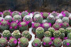Pianta di fioritura del cactus Immagini Stock Libere da Diritti