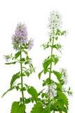 Pianta di fioritura del Catnip, cataria del Nepeta Immagine Stock