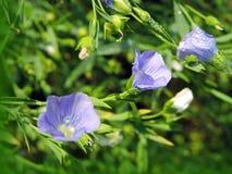 Pianta di fioritura del lino Fotografie Stock Libere da Diritti