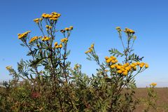 Pianta di fioritura del tanaceto fotografia stock