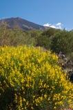 Pianta di fioritura della scopa Fotografia Stock Libera da Diritti
