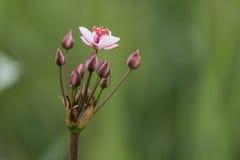 Pianta di fioritura di umbellatus di Butomus di attività in fiore fotografie stock libere da diritti