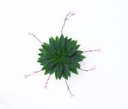 Pianta di fioritura di Violet Family dell'Africano Fotografia Stock Libera da Diritti