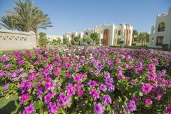 Pianta di fioritura ornamentale della vinca rosa in un giardino convenzionale Fotografia Stock Libera da Diritti