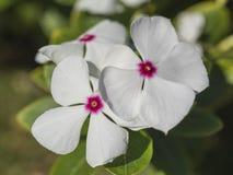 Pianta di fioritura ornamentale della vinca rosa in un giardino convenzionale Fotografie Stock Libere da Diritti