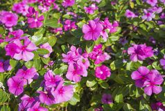 Pianta di fioritura ornamentale della vinca rosa in un giardino convenzionale Fotografie Stock