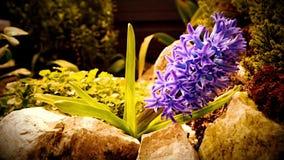 Pianta di fioritura porpora del giacinto La macchina fotografica si spost indietroare stock footage