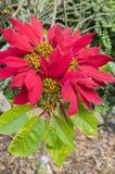 Pianta di fioritura rossa di euphorbia pulcherrima in fioritura sull'isola del Madera, fiori di fioritura della stella di Natale fotografia stock libera da diritti