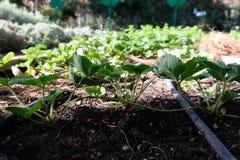 Pianta di fragola che fa le nuove piante da quella vecchia Fotografia Stock