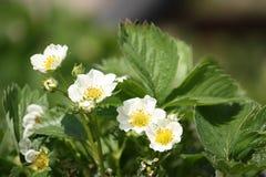 Pianta di fragola di fioritura Fotografia Stock