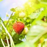 Pianta di fragola fresca Fotografie Stock