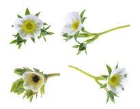 Pianta di fragola isolata su fondo bianco Fotografia Stock Libera da Diritti