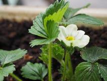 Pianta di fragola nel flower_close-up Immagini Stock Libere da Diritti