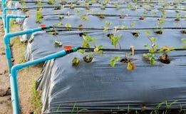 Pianta di fragola organica Immagine Stock Libera da Diritti