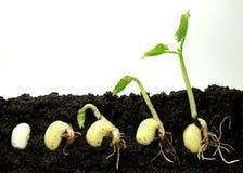 Pianta di germinazione Immagine Stock Libera da Diritti