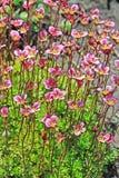 Pianta di giardino di Groundcover - sassifraga di Arends (arendsii della sassifraga) Fotografia Stock