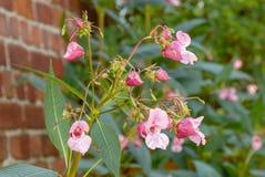 Pianta di glandulifera di impatiens in giardino immagini stock