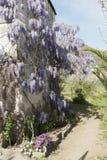 Pianta di glicine in un vecchio cortile con altri fiori Immagini Stock