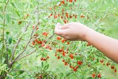 Pianta di Goji con i frutti immagine stock