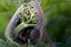 Pianta di Hogweed, fiore Bud Opening di heracleum sphondylium fotografia stock