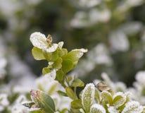 Pianta di inverno della neve Immagine Stock Libera da Diritti