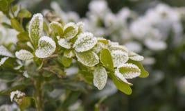 Pianta di inverno della neve Fotografie Stock Libere da Diritti