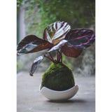 Pianta di Kokedama con le foglie porpora Fotografie Stock Libere da Diritti