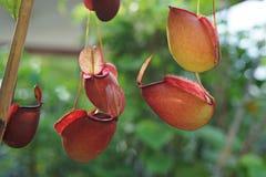Pianta di lanciatore tropicale con molte tazze del fiore, insetto fitofago carnivoro Fotografie Stock Libere da Diritti