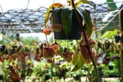 Pianta di lanciatore tropicale con molte tazze del fiore, insetto fitofago carnivoro Fotografia Stock