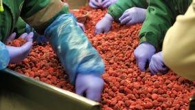 Pianta di lavorazione della frutta, nei lamponi freddi e congelati fotografia stock