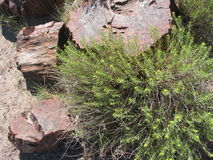 Pianta di legno e di fioritura petrificata Fotografia Stock Libera da Diritti