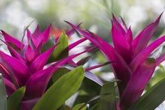 Pianta di lingulata di Guzmania nel giardino Fotografia Stock