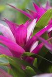 Pianta di lingulata di Guzmania nel giardino Immagine Stock