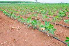 Pianta di manioca della manioca del paesaggio in terreno coltivabile Fotografie Stock