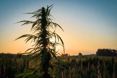 Pianta di marijuana nel prato Fotografia Stock Libera da Diritti