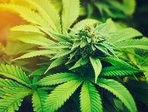 Pianta di marijuana nella luce del giorno fotografie stock libere da diritti