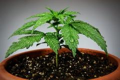 Pianta di marijuana in vaso di fiore Immagine Stock