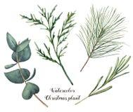 Pianta di Natale dell'acquerello Rami dipinti a mano dei rosmarini, dell'eucalyptus, del cedro e dell'abete isolati su fondo bian illustrazione vettoriale