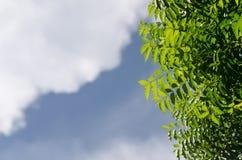 Pianta di Neem con il cielo piacevole immagine stock