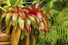Pianta di Neoregelia, caraibica Fotografia Stock