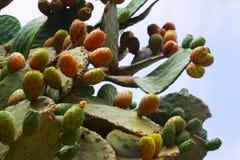Pianta di opuntia ficus indica (fico d'India) Fotografie Stock